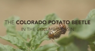 Colorado Potato Beetle in the Columbia Basin